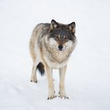 Um Wolf Alone na neve foto de stock royalty free