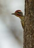 Um Woodpecker alerta de Nubian Imagens de Stock