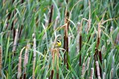 Um Yellowthroat comum que empoleira-se no spikelet fotos de stock