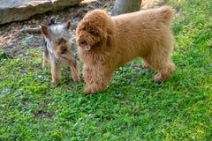Um yorkie e um Toy Poodle Fotos de Stock