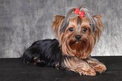 Um yorkshire terrier novo da raça do cão com uma curva vermelha Imagens de Stock