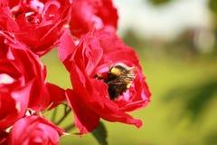 Um zangão recolhe o pólen das flores de uma rosa imagem de stock royalty free