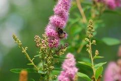Um zangão recolhe o pólen de uma flor cor-de-rosa Fotografia de Stock