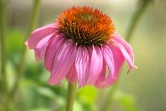 Um zinnia cor-de-rosa Fotografia de Stock
