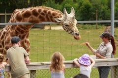 Um zookeeper quealimenta um girafa foto de stock