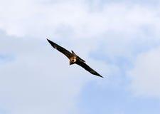 Uma águia Imagem de Stock