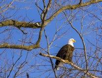 Uma águia americana empoleirada Foto de Stock Royalty Free