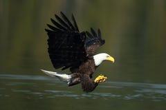 Uma águia americana pronta para travar um peixe Foto de Stock