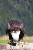 Uma águia americana treinada que olha para baixo Disparado na montanha do galo silvestre, Vancôver, Canadá Imagens de Stock Royalty Free