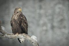 Uma águia Branco-atada empoleirou-se em uma filial de árvore Fotos de Stock