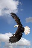 Uma águia calva Fotografia de Stock