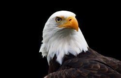 Uma águia calva isolada Foto de Stock