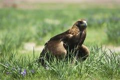 Uma águia da caça, horas de verão, Mongólia ocidental fotografia de stock royalty free