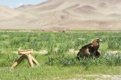 Uma águia da caça, horas de verão, Mongólia ocidental imagens de stock