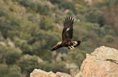 Uma tomada da águia dourada imagem de stock