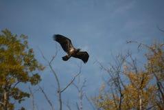 Uma águia em voo da árvore imagens de stock