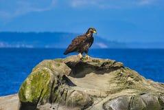 uma águia está sentando-se na rocha pelo mar imagem de stock royalty free
