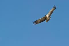 Uma águia marcial juvenil no vôo Imagens de Stock