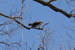 Uma águia pescadora e seus peixes imagem de stock royalty free
