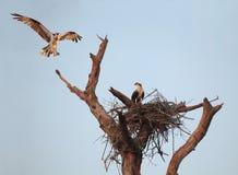 Uma águia pescadora paira sobre ele é ninho com o companheiro na luz do amanhecer Fotografia de Stock