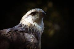 Uma águia prisioneira Fotografia de Stock Royalty Free