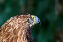 Uma águia que olha na distância Fundo imagens de stock royalty free