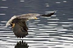 Uma águia tem um peixe em seus talons. foto de stock royalty free