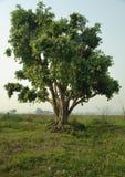 Uma árvore Imagem de Stock
