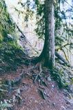Uma árvore alta em uma floresta em um monte íngreme fotografia de stock