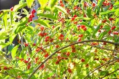 Uma árvore bonita do hosiei do Ormosia imagens de stock