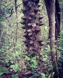 Uma árvore caloso Imagem de Stock