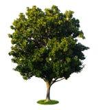 uma árvore com um fundo branco 2 Imagem de Stock