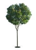 Uma árvore com um fundo branco no10 Fotos de Stock Royalty Free
