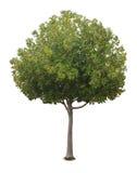Uma árvore com um fundo branco no12 Fotos de Stock