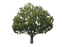Uma árvore com um fundo branco no13 Imagem de Stock Royalty Free