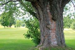 Uma árvore com uma história Imagens de Stock Royalty Free