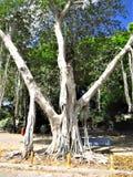Uma árvore completamente das raizes fotografia de stock