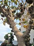 Uma árvore completamente dos frutos fotos de stock royalty free
