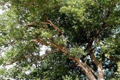 Uma árvore, completas grandes, frondosos dos ramos e das folhas fotos de stock
