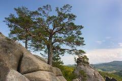 Uma árvore cresce na pedra Foto de Stock