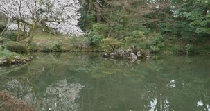 Uma árvore da flor de cerejeira que floresce com as flores brancas cor-de-rosa na borda da lagoa reflexiva em um jardim japonês filme
