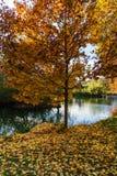 Uma árvore da queda por uma lagoa Fotos de Stock Royalty Free