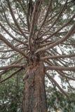 Uma árvore da sequoia gigante em Queenstown, Nova Zelândia Imagens de Stock