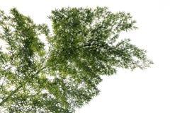 Uma árvore de bambu Fotos de Stock Royalty Free