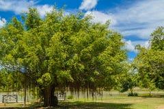Uma árvore de banyan foto de stock royalty free