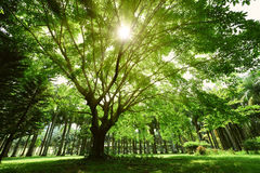 Uma árvore de banyan grande Imagens de Stock