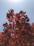 Uma árvore de bordo vermelho no céu azul imagens de stock royalty free