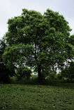 Uma árvore de cânfora perfeita Imagens de Stock Royalty Free
