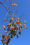 uma árvore de caqui Foto de Stock Royalty Free