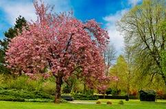 Uma árvore de cereja Fotos de Stock Royalty Free